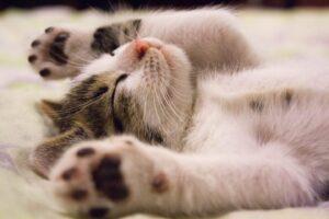 cat-laying